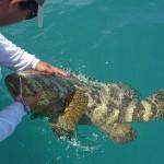 Jewfish | goliath Grouper